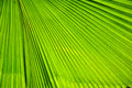 Green palm leaf