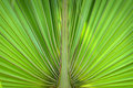 Green palm leaf close up of Stock Images