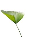 Green palm leaf an isolated Royalty Free Stock Image