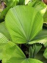 Green palm leaf in a tropical garden