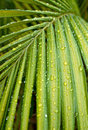 Green palm leaf with water drops Stock Photography