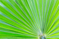 Green palm leave, texture and background. Royalty Free Stock Photo