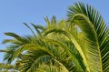 Green palm leaves on blue sky Royalty Free Stock Photo