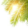 Green palm leaves border closeup on isolated on white shy background fresh exotic tree foliage paradise beach summer vacation and Royalty Free Stock Photo