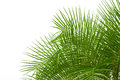Green palm leaves isolated on white background, clipping path in