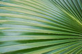 Green Palm Leaves Texture