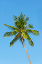Green palm tree in the blue sky