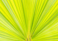 Green palm tree leaf as a background Royalty Free Stock Photo