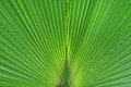 Green palm tree leaf background Royalty Free Stock Photo