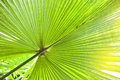 Green palm tree leaf close up Royalty Free Stock Photo