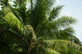 Green palm tree leaf with coconut. Summer travel seaside nature photo. Royalty Free Stock Photo
