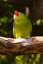 Green Parakeet bird on tree branch Stock Photos