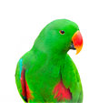 Green parakeet in black background isolation Royalty Free Stock Photo