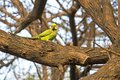 Green parakeet on a tree in lodi garden delhi Royalty Free Stock Image