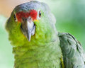 Green parrot Stock Photography