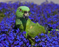 Green Parrot on blue flowers Lobelia Royalty Free Stock Photo