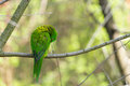 Green parrot on branch parrot cleaning itself self tree with Stock Images