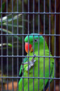 Green parrot in cage Royalty Free Stock Photo