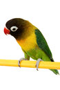 Green parrot lovebird isolated a beautiful on white background Stock Photo