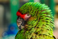 Green parrot portrait close up of feather detail and eye on a colorful military macaw or a popular pet due to its ability to Royalty Free Stock Photography