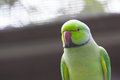 Green parrot (psittacula krameri) Stock Photo