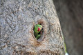 Green Parrot in a tree hole Royalty Free Stock Photo