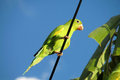 Green parrot on the wire Royalty Free Stock Photo