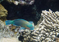 Green parrotfish Royalty Free Stock Images