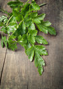 Green parsley Royalty Free Stock Images
