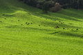 Green pasture herd of cows Royalty Free Stock Photo