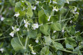Green pea plant blooming, white flowers Royalty Free Stock Photo