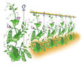 Green pea planting illustration Stock Photo
