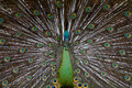 Green Peafowl 01