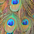 Green peafowl feathers colorful plumage of male background Stock Photos