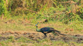A green peafowl standing alone in the field Royalty Free Stock Photo