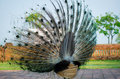 Green peafowl of thailand the pavo muticus from latin pavo muticus mute docked or curtailed is a species that is found in Royalty Free Stock Photography