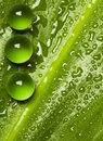 Green pearls on wet leaf Royalty Free Stock Photo