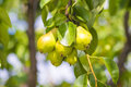 Green pears in golden sun Royalty Free Stock Images