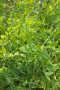 Green peas in the garden Royalty Free Stock Image