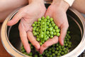 Green peas in hands Royalty Free Stock Photo