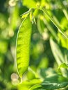 Green peas plant in the garden, summer harvest. Popular vegetable Royalty Free Stock Photo