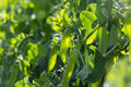 Green peas plant in the garden Royalty Free Stock Photo