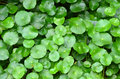Green pennywort plant Stock Photography