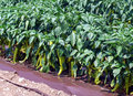 Green pepper plant Royalty Free Stock Photo