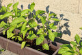 Green pepper plant in flower box with stone wall in background Royalty Free Stock Photo