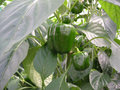 Green peppers in a greenhouse Stock Photo