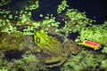 Green Pig Frog in Algae Royalty Free Stock Photo