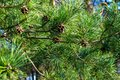 Green pine branches with cones Royalty Free Stock Photo