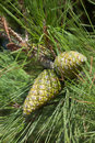 Green pine cone Royalty Free Stock Image