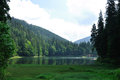 Green pine forest above smooth surface of lake synevyr in ukrainian carpathian Royalty Free Stock Photography